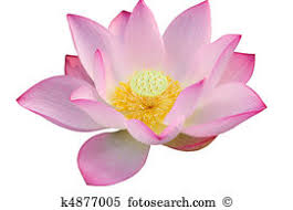 Lotus Flower Parts - lotus flower stock photos and images 42 556 lotus flower pictures