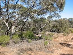 south australian native plants wrens archives trevor u0027s birding trevor u0027s birding