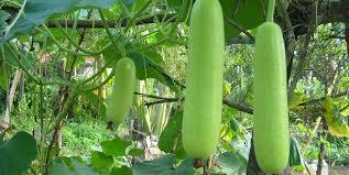 Okra Plant Diseases - growth parameters in bottle gourd u0026 okra