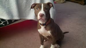 american pitbull terrier jeep bloodline i adopted a pitbull but dont know the bloodline help pitbulls