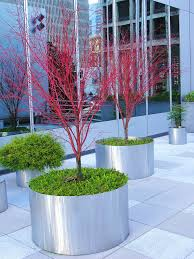 coral bark japanese maple acer palmatum u0027sango kaku u0027 1 from