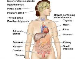 Human Anatomy Worksheet Label Endocrine System Diagram Worksheet Endocrine System Diagram
