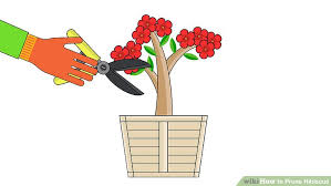 Which State Has A Hibiscus by How To Prune Hibiscus 10 Steps With Pictures Wikihow