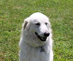 great pyrenees rescue provides wonderful dogs to good homes dog for adoption artica near richmond va petfinder