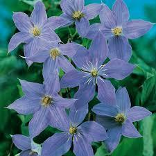 clematis u0027rhapsody u0027 climbing plant plants plus online nursery