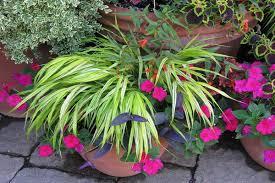 hakone grass a cascading ornamental grass brightens the garden