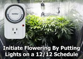 Light Cycle For Weed What To Expect During The Cannabis Flowering Stage 12 12 To