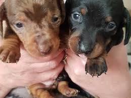 dachshund x australian shepherd miniature dachshund dogs and puppies for sale in barnsley pets4homes
