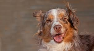 australian shepherd los angeles rescue crackers jpg