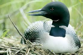 common loon la mauricie national park photograph by philippe henry