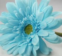 teal flowers 12 gerbera daisies aqua turquoise 21