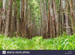 large stands of eucalyptus trees eucalyptus grandis formerly