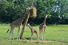 fort wayne children u0027s zoo baby giraffe goes on exhibit