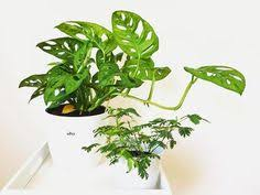 Easy Care Indoor Plants Easy Care Indoor Plants From Left To Right Calathea Insignis