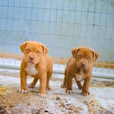 puppies for sale blue nose pitbull puppies for sale blue pitbull pitbulls