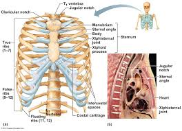Essentials Of Human Anatomy And Physiology Notes Figure 05 22 Labeled Jpg