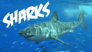 all about sharks for children animal videos for kids freeschool