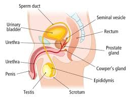 The Human Body Picture Chapter 41 The Human Reproductive System Leavingcertbiology Net