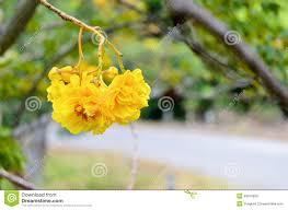 Tree With Bright Yellow Flowers - yellow flowers of cochlospermum regium stock photo image 43918820