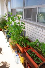 toronto balcony gardening snap peas growing like crazy supported