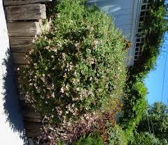 tucson native plants abelia grandiflora glossy abelia non native evergreen deciduous