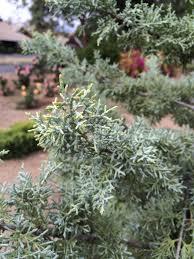 arizona native plants chaparral arizona cypress monrovia chaparral arizona cypress
