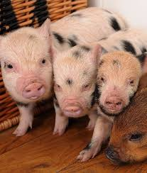 10 tips owning teacup pig