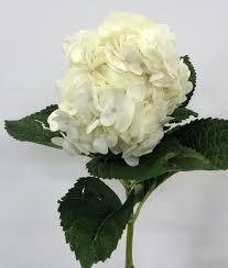 hydrangea white hydrangeas