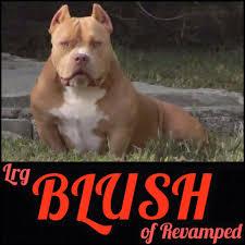 american pitbull terrier heat cycle revamped bullies home facebook