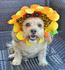 Halloween Costumes Yorkies Dogs Dogs Designer Dogs Yorkipoo Yorkie Poo Sunflower Dog Hat Dog