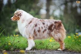 australian shepherd pictures australian shepherd dog breed information buying advice photos