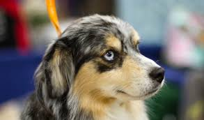 australian shepherd dogtime miniature american shepherd dog breed information