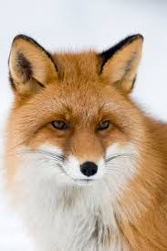 37 best graph foxes images on pinterest foxes fox logo and animals