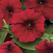 Dry Basement Wave Easy Wave Red Velour Petunia Seeds