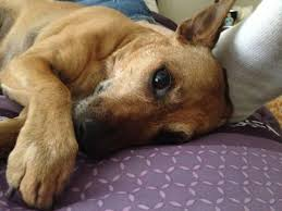 dog euthanasia happy endings in home pet euthanasia in