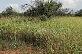 native grass plants file invasive grasses compete with native plants jpg wikimedia