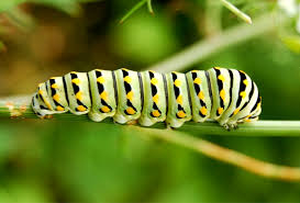 caterpillar coloring pages print color craft