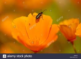 field of california poppy flowers with insect stock photo royalty