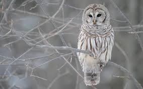 free owl wallpapers wallpaper cave