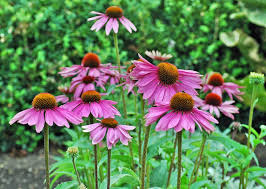 echinacea flower coneflower care growing and planting purple coneflower
