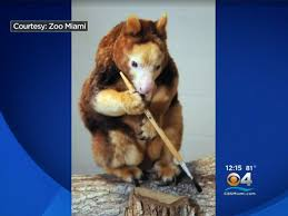 tree kangaroo patty lives record breaking life at zoo miami cbs news