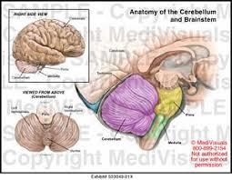 Brain Stem Anatomy Anatomy Of The Cerebellum And Brainstem Medical Illustration