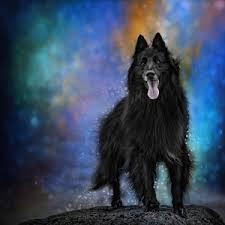 4 belgian sheepdogs belgian sheepdog photographs fine art america