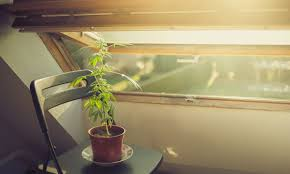 Home How You Can Legally Grow Marijuana At Home In Washington State