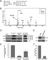 long qt2 mutation on the kv11 1 ion channel inhibits current