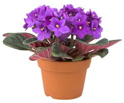 native african plants african violet care u2014 bob u0027s market and greenhouses