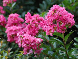 Trees With Pink Flowers 12 Great Patio Trees Hgtv