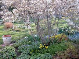 canadian native plants plant of the month canadian serviceberry blog gelderman