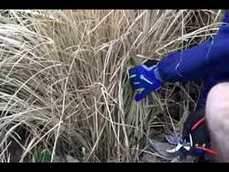 winter pruning ornamental grasses