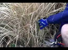 winter pruning ornamental grasses